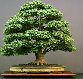 rsz_acer-bonsai-pall