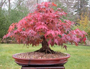rsz_red_maple4buntitled-4