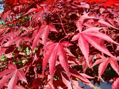 Acer palmatumAtropurpur1